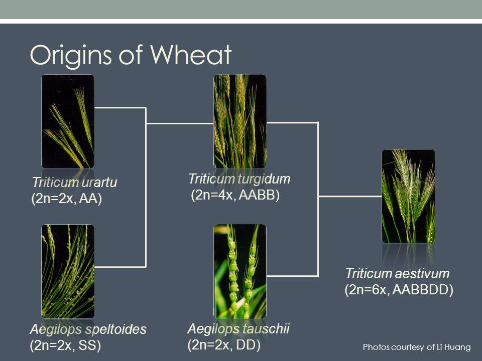 Triticum turgidum (2n=4x, AABB) Origins of Wheat Triticum aestivum (2n=6x, AABBDD) Aegilops tauschii (2n=2x, DD) Triticum urartu (2n=2x, AA) Aegilops speltoides (2n=2x, SS) Photos courtesy of Li Huang