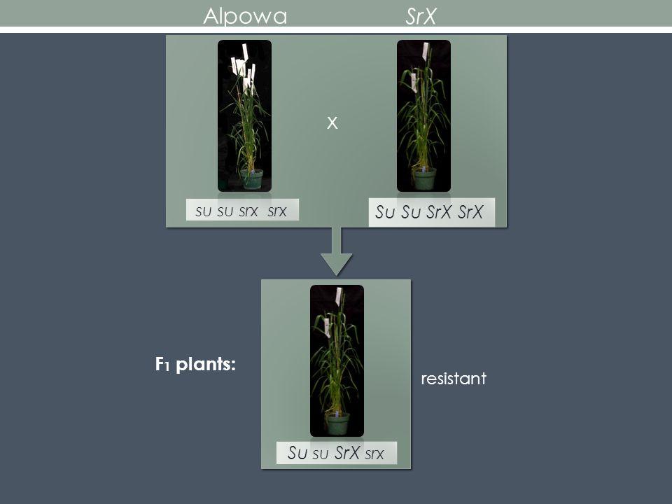 su su srx srx x Su Su SrX SrX resistant Alpowa SrX Su su SrX srx F 1 plants:
