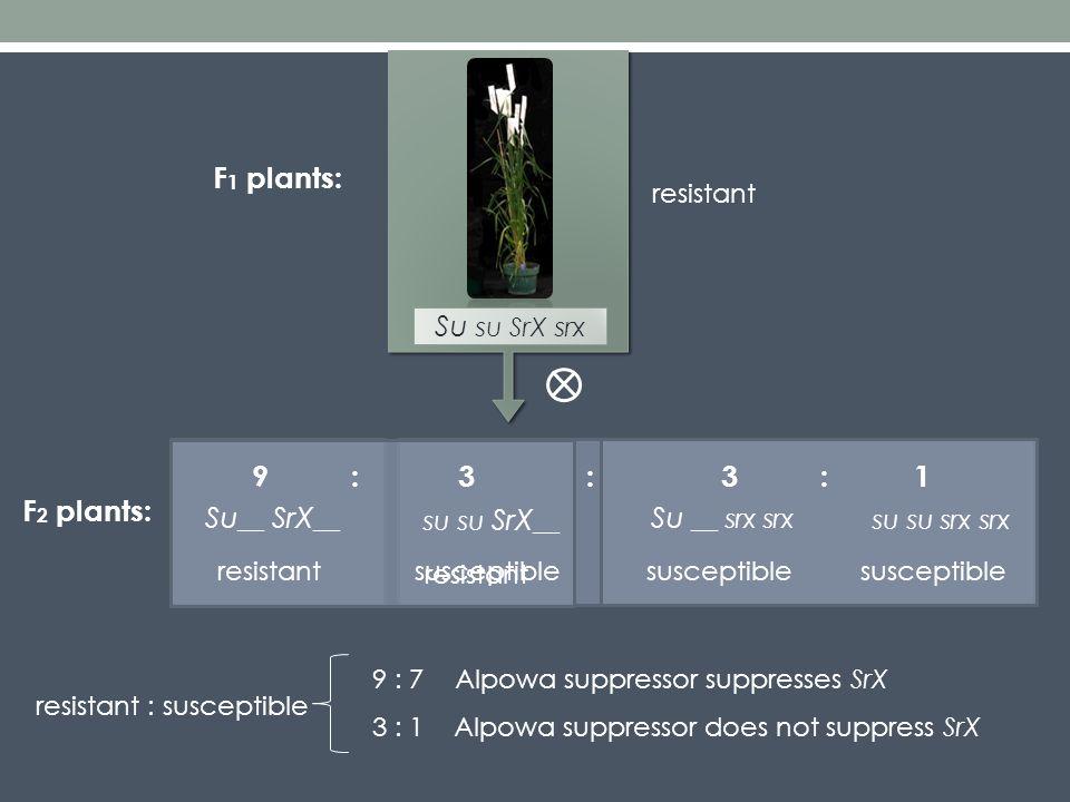 Su __ SrX __ su su SrX __ Su __ srx srx su su srx srx F 2 plants: 3913::: resistantsusceptible resistant Su su SrX srx F 1 plants: 3 : 1Alpowa suppressor does not suppress SrX resistant resistant : susceptible 9 : 7Alpowa suppressor suppresses SrX