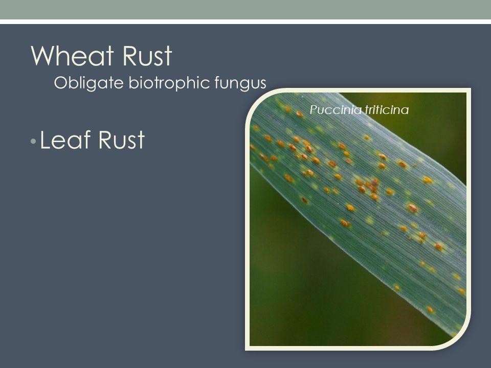 Wheat Rust Leaf Rust Puccinia triticina Obligate biotrophic fungus