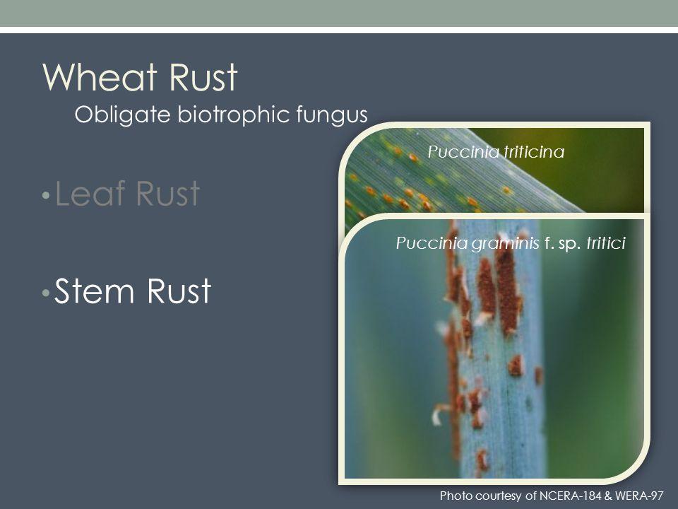 Wheat Rust Leaf Rust Stem Rust Leaf Rust Stem Rust Puccinia triticina Puccinia graminis f.