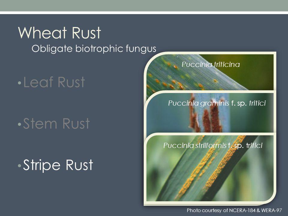 Wheat Rust Leaf Rust Stem Rust Stripe Rust Puccinia triticina Puccinia graminis f.