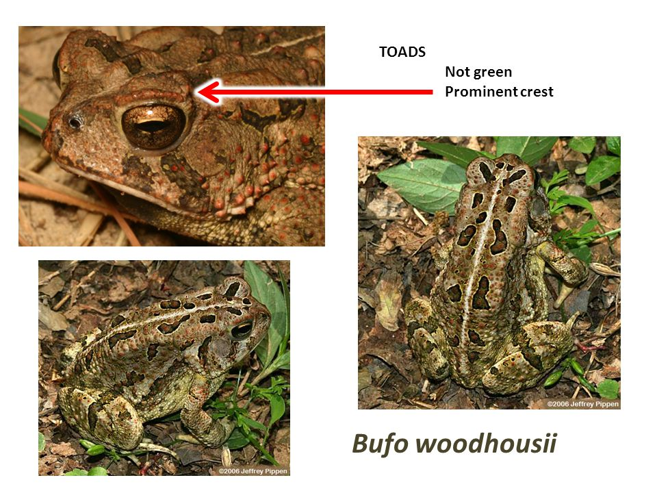 TOADS Not green Prominent crest Bufo woodhousii