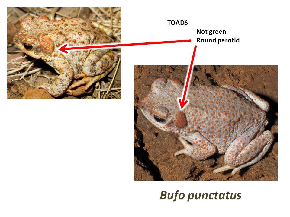 TOADS Not green Round parotid Bufo punctatus