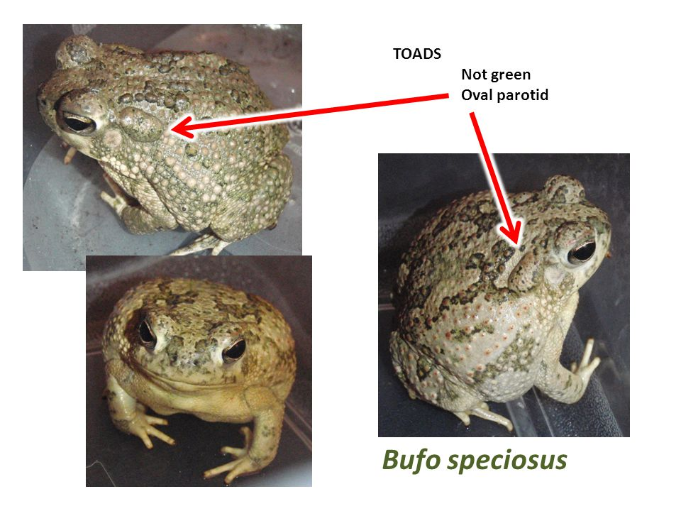 TOADS Not green Oval parotid Bufo speciosus