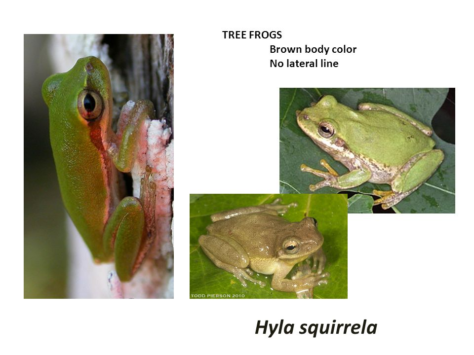 TREE FROGS Brown body color No lateral line Hyla squirrela