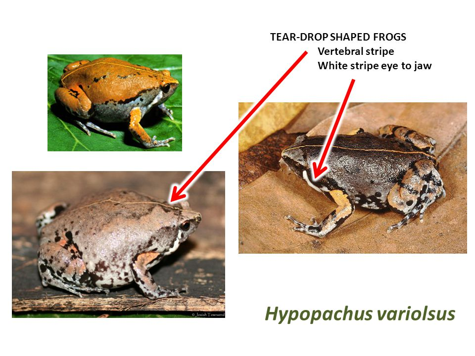 TEAR-DROP SHAPED FROGS Vertebral stripe White stripe eye to jaw Hypopachus variolsus