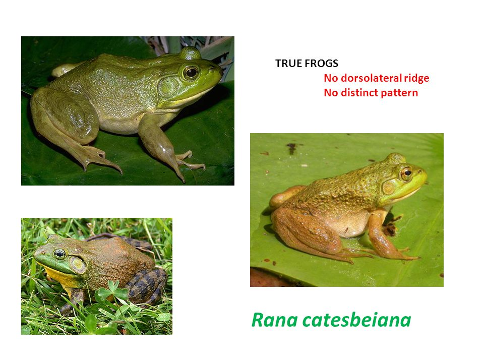 TRUE FROGS No dorsolateral ridge No distinct pattern Rana catesbeiana