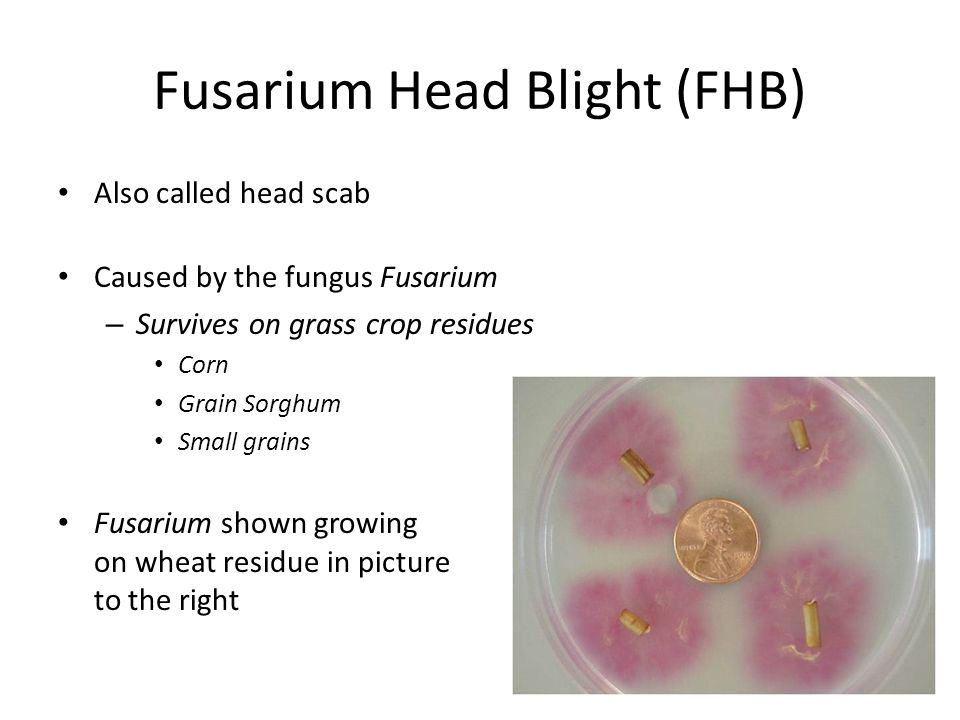 Fusarium Head Blight (FHB) Also called head scab Caused by the fungus Fusarium – Survives on grass crop residues Corn Grain Sorghum Small grains Fusarium shown growing on wheat residue in picture to the right