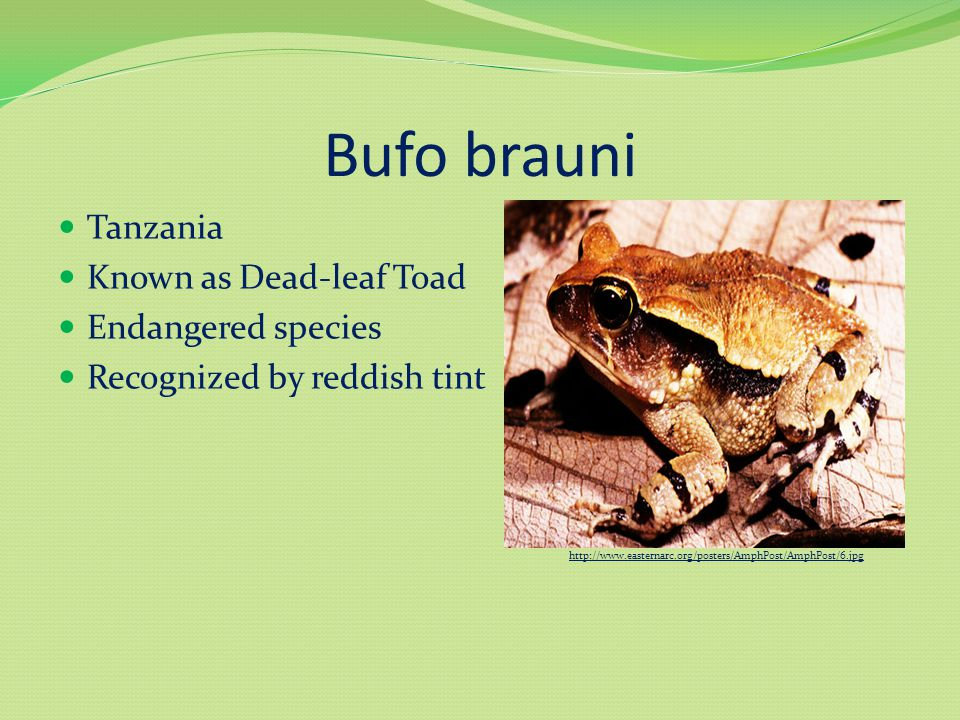 Bufo brauni Tanzania Known as Dead-leaf Toad Endangered species Recognized by reddish tint http://www.easternarc.org/posters/AmphPost/AmphPost/6.jpg