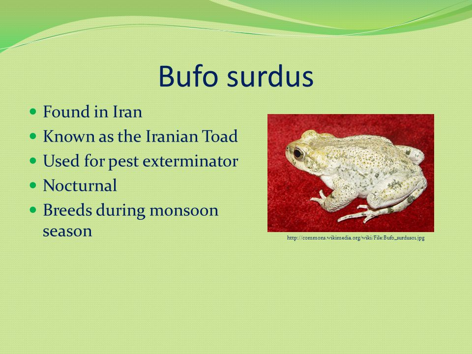 Bufo surdus Found in Iran Known as the Iranian Toad Used for pest exterminator Nocturnal Breeds during monsoon season http://commons.wikimedia.org/wiki/File:Bufo_surdus01.jpg