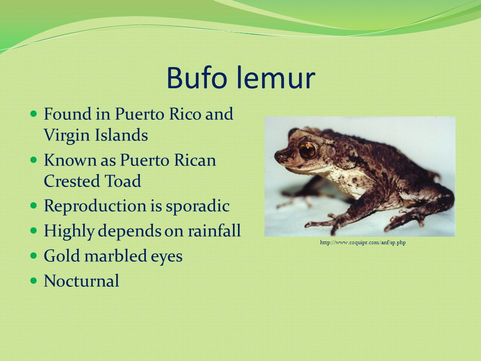 Bufo lemur Found in Puerto Rico and Virgin Islands Known as Puerto Rican Crested Toad Reproduction is sporadic Highly depends on rainfall Gold marbled eyes Nocturnal http://www.coquipr.com/anf/sp.php