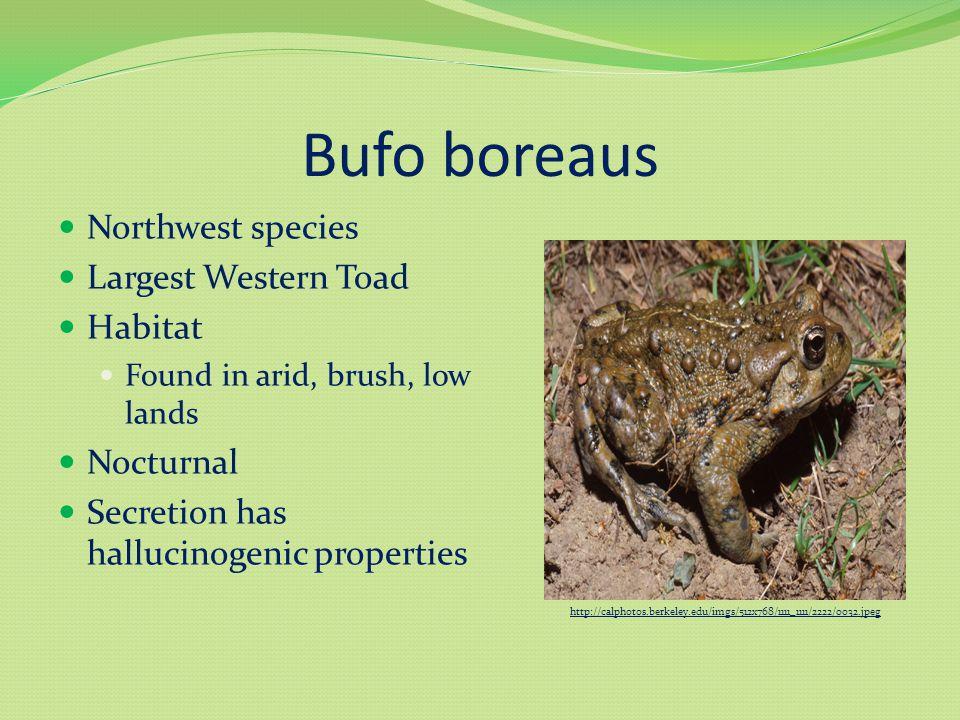 Bufo boreaus Northwest species Largest Western Toad Habitat Found in arid, brush, low lands Nocturnal Secretion has hallucinogenic properties http://calphotos.berkeley.edu/imgs/512x768/1111_1111/2222/0032.jpeg