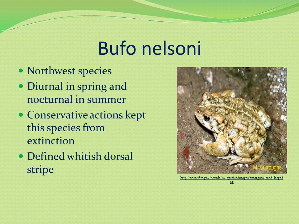 Bufo nelsoni Northwest species Diurnal in spring and nocturnal in summer Conservative actions kept this species from extinction Defined whitish dorsal stripe http://www.fws.gov/nevada/nv_species/images/amargosa_toad_large.j pg