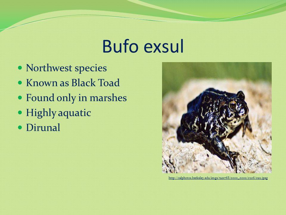 Bufo woodhousii Northwest species Known as Woodhouse's Toad Variety of habitats Whitish dorsal stripe Prominent cranial crest http://calphotos.berkeley.edu/imgs/512x768/1111_1111/1111/8989.jpeg