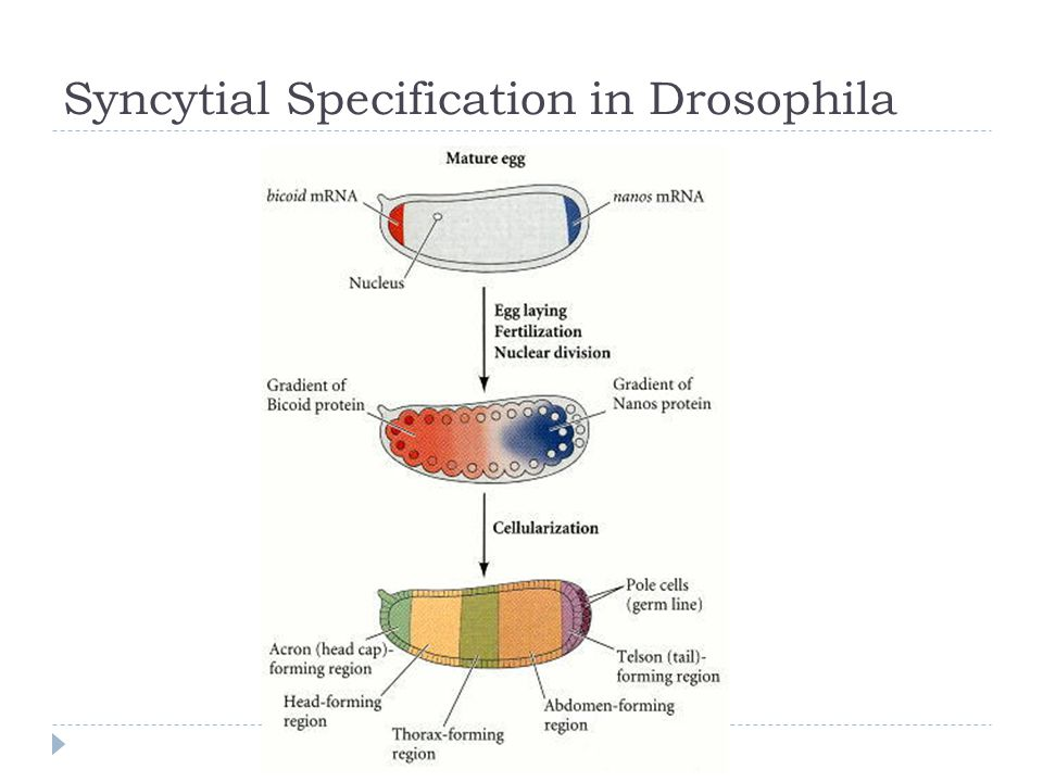 Syncytial Specification in Drosophila