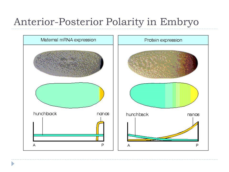 Anterior-Posterior Polarity in Embryo