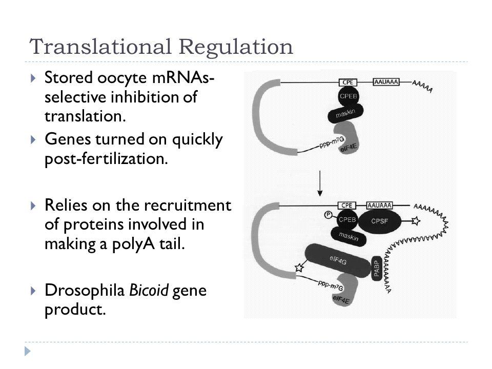 Translational Regulation  Stored oocyte mRNAs- selective inhibition of translation.