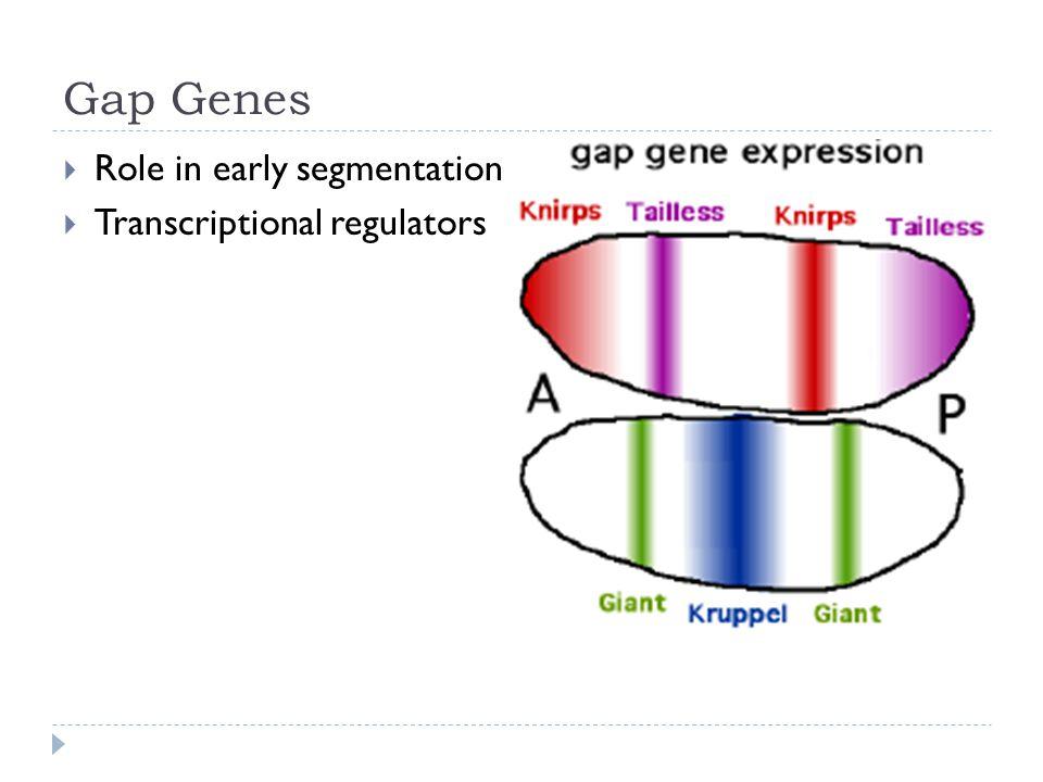 Gap Genes  Role in early segmentation  Transcriptional regulators