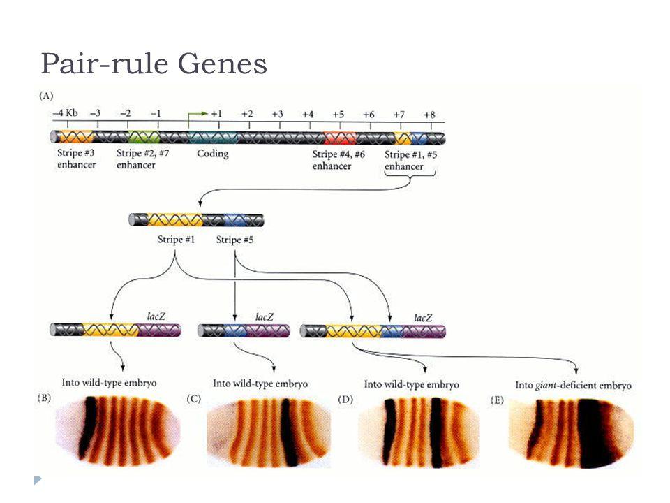 Pair-rule Genes