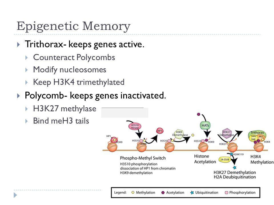 Epigenetic Memory  Trithorax- keeps genes active.