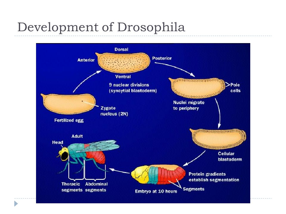Development of Drosophila