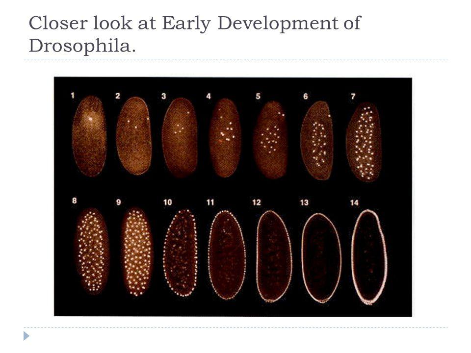 Closer look at Early Development of Drosophila.