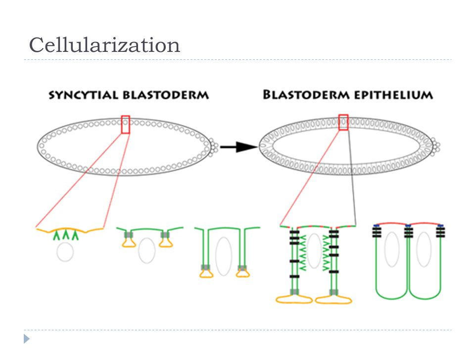 Cellularization