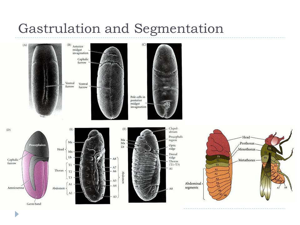 Anterior-Posterior Polarity in Oocyte  Starts during oogenesis  Gurken mRNA transferred to oocyte.