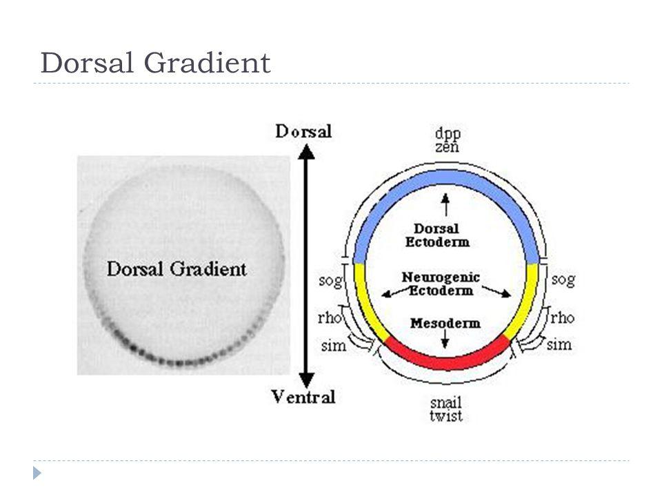 Dorsal Gradient