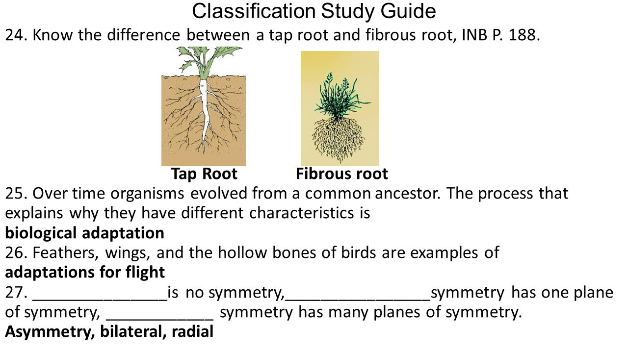 Classification Study Guide 24. Know the difference between a tap root and fibrous root, INB P.