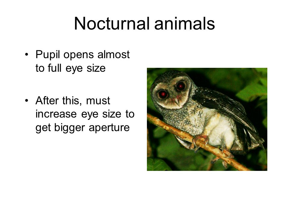Nocturnal animals Pupil opens almost to full eye size After this, must increase eye size to get bigger aperture