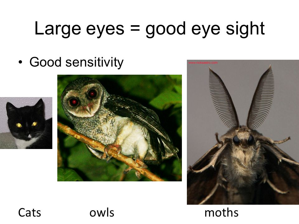 Large eyes = good eye sight Good sensitivity Cats owls moths