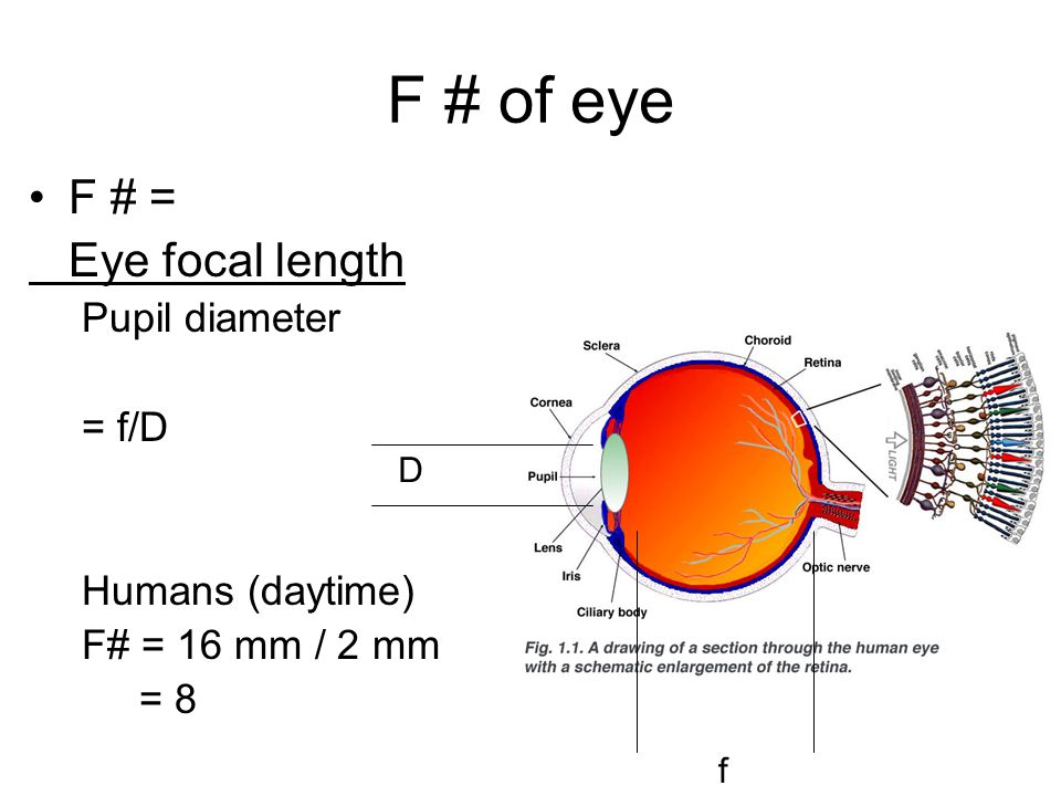 F # of eye F # = Eye focal length Pupil diameter = f/D Humans (daytime) F# = 16 mm / 2 mm = 8 D f