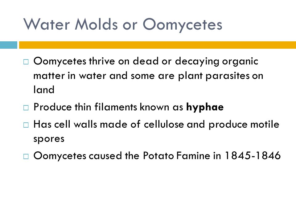Water Molds or Oomycetes  Oomycetes thrive on dead or decaying organic matter in water and some are plant parasites on land  Produce thin filaments known as hyphae  Has cell walls made of cellulose and produce motile spores  Oomycetes caused the Potato Famine in 1845-1846