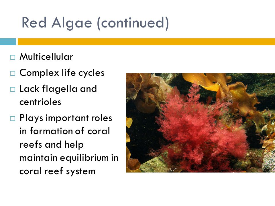 Red Algae (continued)  Multicellular  Complex life cycles  Lack flagella and centrioles  Plays important roles in formation of coral reefs and hel