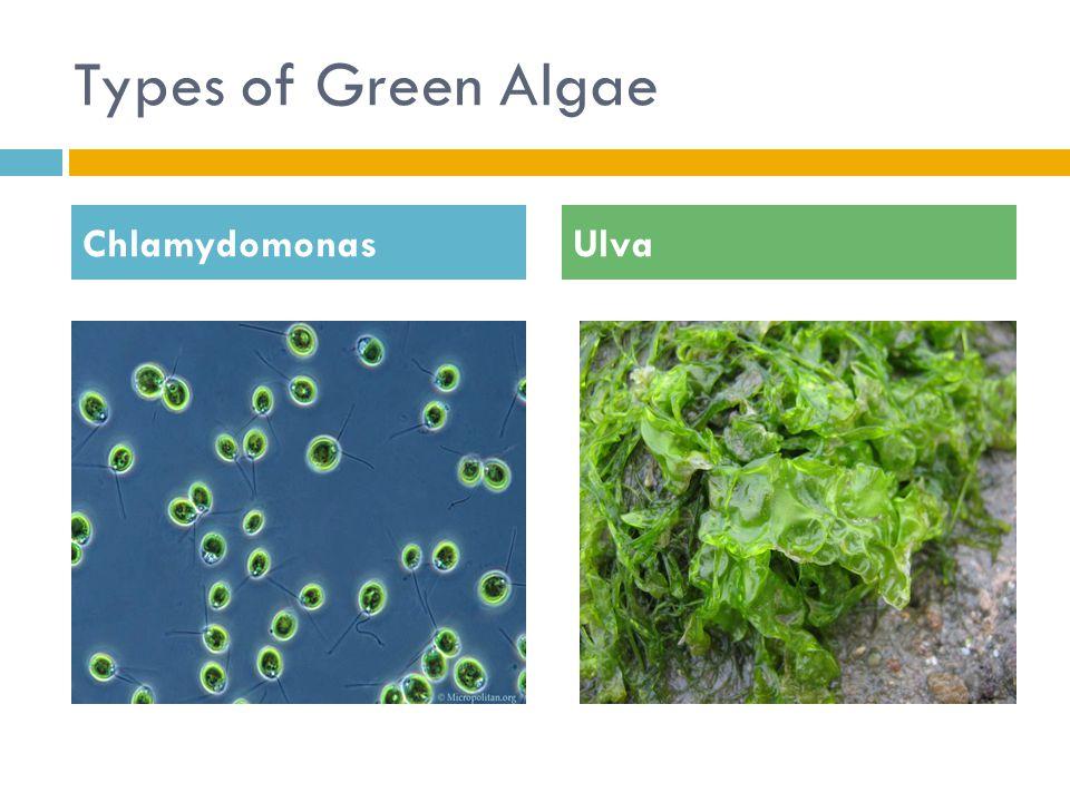 Types of Green Algae ChlamydomonasUlva