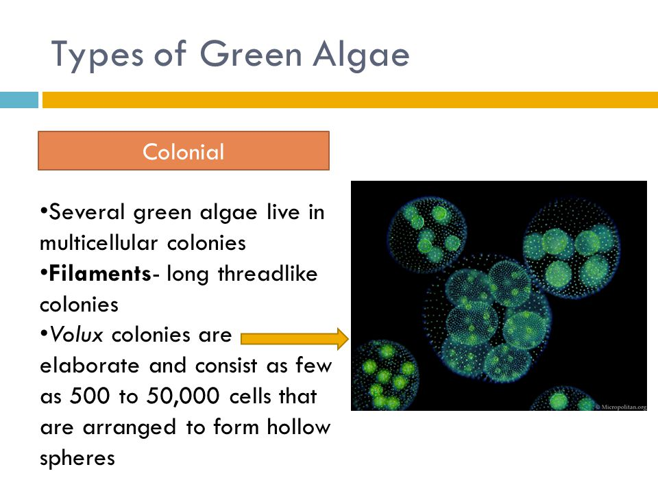 Types of Green Algae Colonial Several green algae live in multicellular colonies Filaments- long threadlike colonies Volux colonies are elaborate and consist as few as 500 to 50,000 cells that are arranged to form hollow spheres