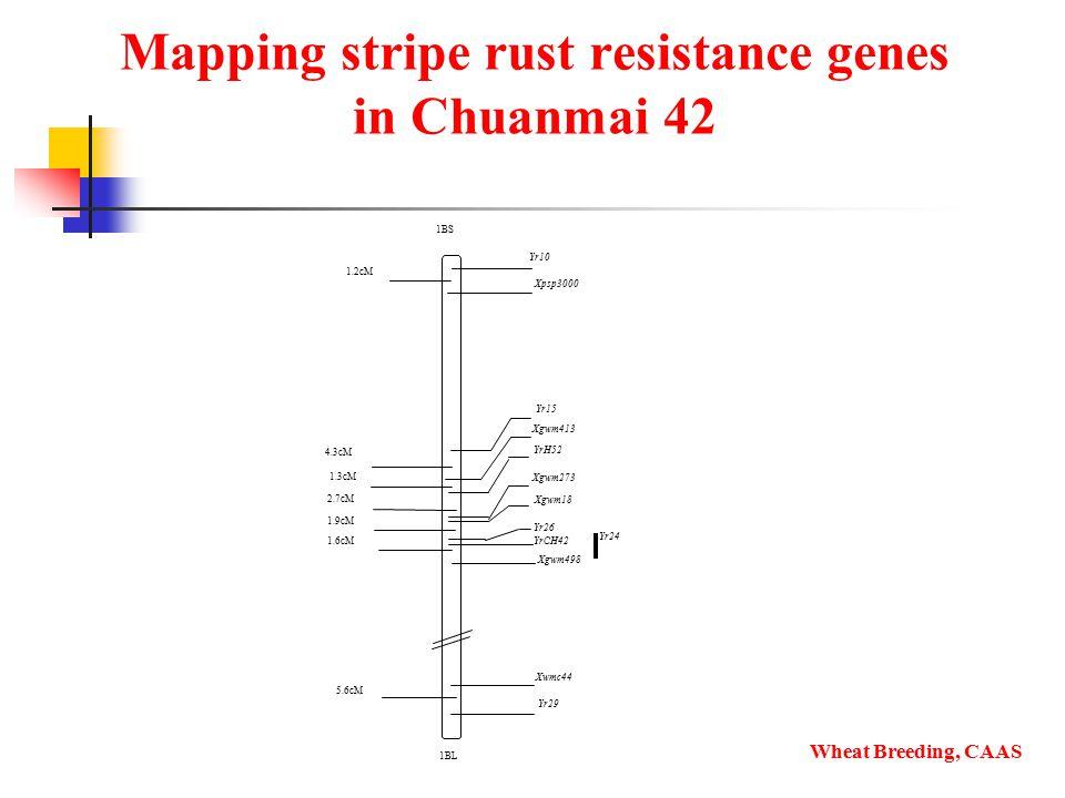Mapping stripe rust resistance genes in Chuanmai 42 Wheat Breeding, CAAS 1BS 1BL 1.6cM 2.7cM 5.6cM 1.3cM 1.9cM Xpsp3000 1.2cM Yr24 Yr26 YrCH42 Xgwm498 Xwmc44 Xgwm18 Xgwm273 YrH52 Yr29 Xgwm413 Yr15 4.3cM Yr10