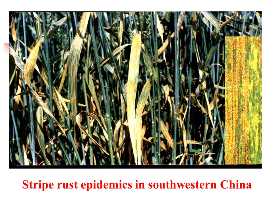 Stripe rust epidemics in southwestern China