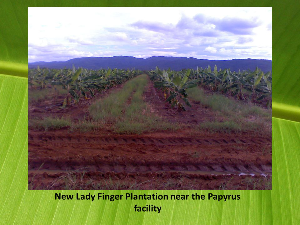 New Lady Finger Plantation near the Papyrus facility
