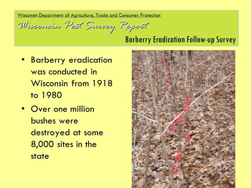Barberry eradication was conducted in Wisconsin from 1918 to 1980 Over one million bushes were destroyed at some 8,000 sites in the state Wisconsin Department of Agriculture, Trade and Consumer Protection Wisconsin Pest Survey Report Barberry Eradication Follow-up Survey