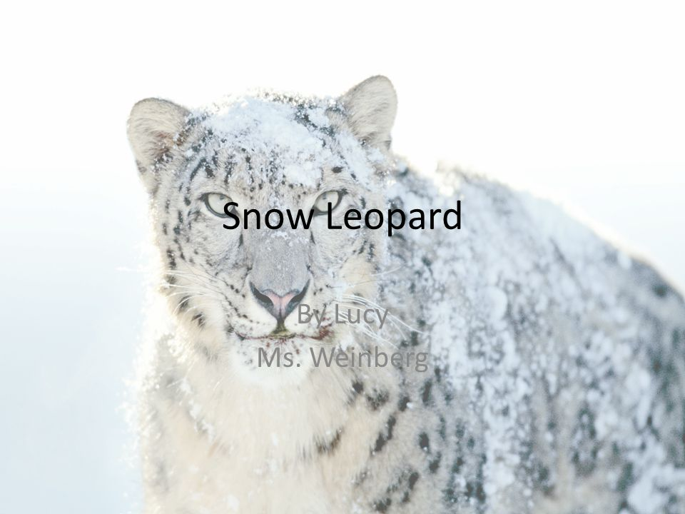 Snow Leopard By Lucy Ms. Weinberg
