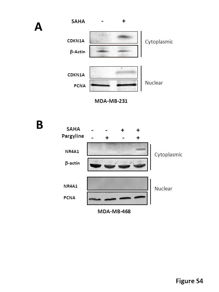 CDKN1A  -Actin Cytoplasmic Nuclear SAHA - + CDKN1A PCNA A Figure S4 SAHA Pargyline - - + + - + NR4A1  -actin B NR4A1 PCNA Cytoplasmic Nuclear MDA-MB-231 MDA-MB-468