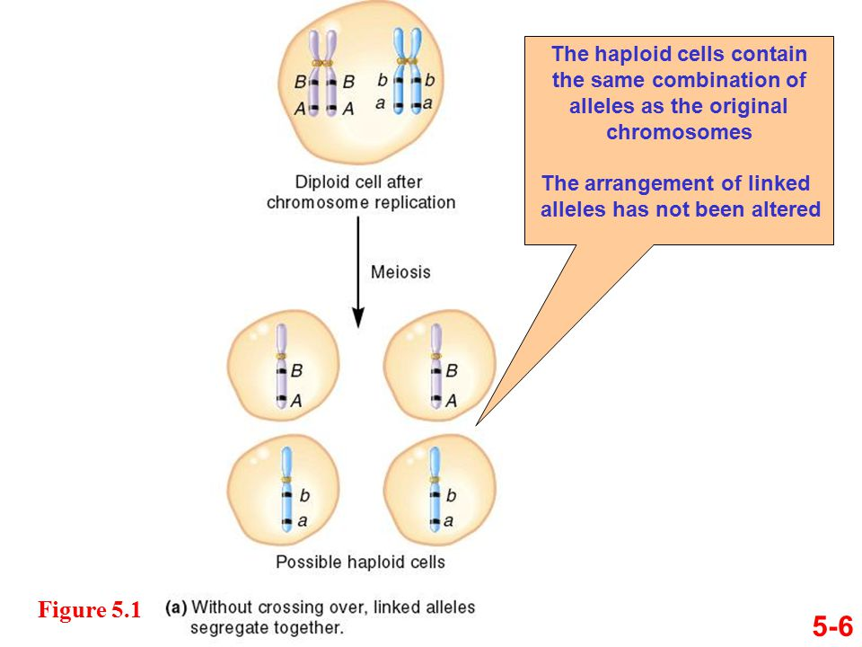 5-6 Figure 5.1 The haploid cells contain the same combination of alleles as the original chromosomes The arrangement of linked alleles has not been altered