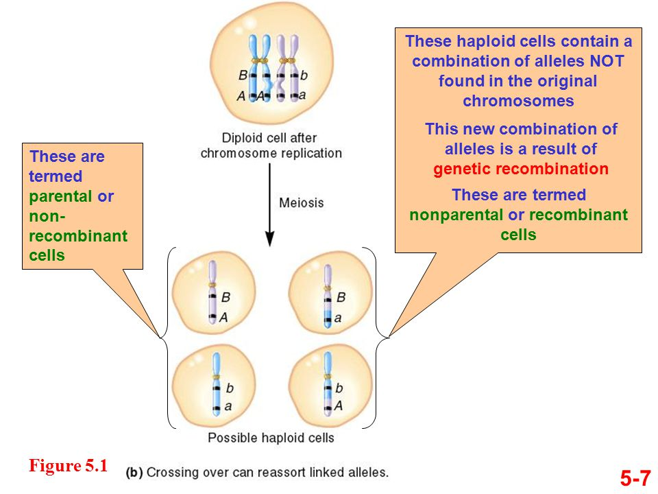 5-7 Figure 5.1 These haploid cells contain a combination of alleles NOT found in the original chromosomes These are termed parental or non- recombinant cells This new combination of alleles is a result of genetic recombination These are termed nonparental or recombinant cells