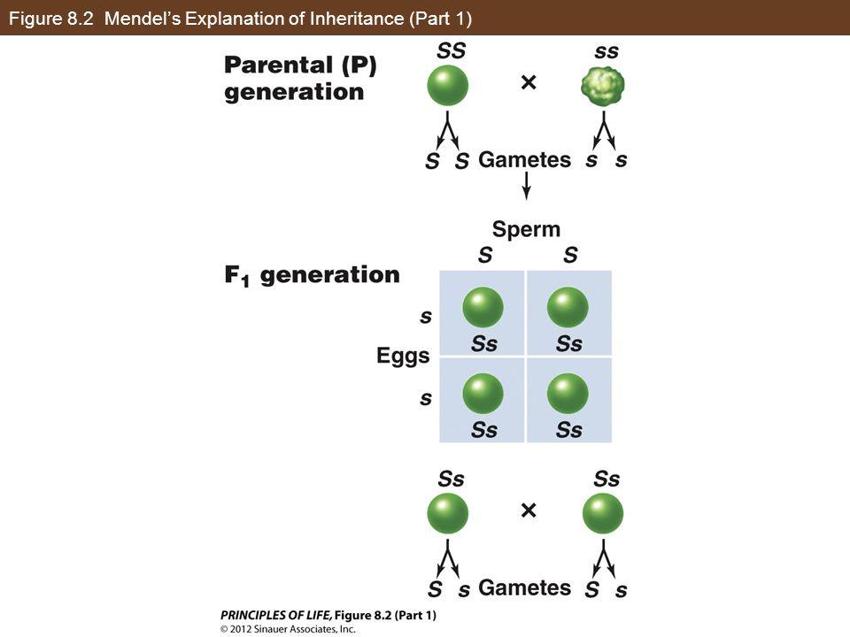 Figure 8.2 Mendel's Explanation of Inheritance (Part 1)