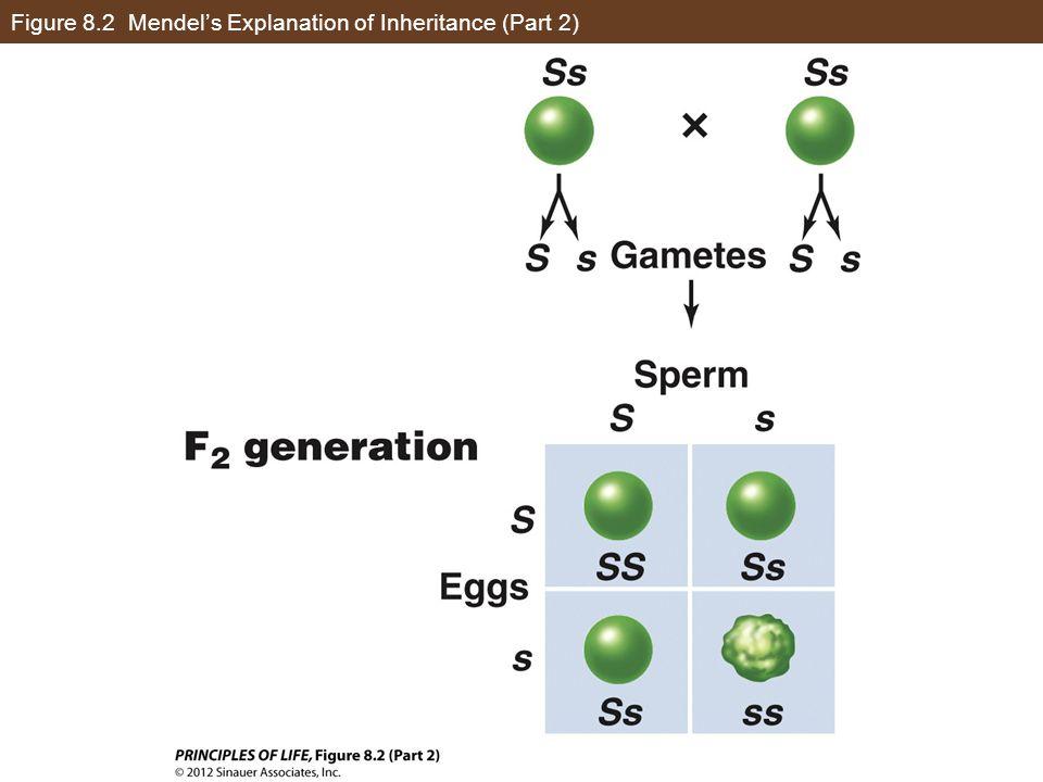 Figure 8.2 Mendel's Explanation of Inheritance (Part 2)