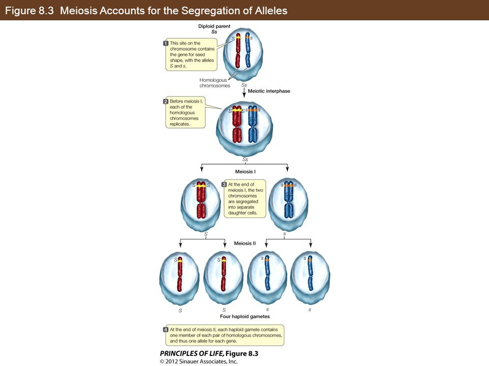Figure 8.3 Meiosis Accounts for the Segregation of Alleles