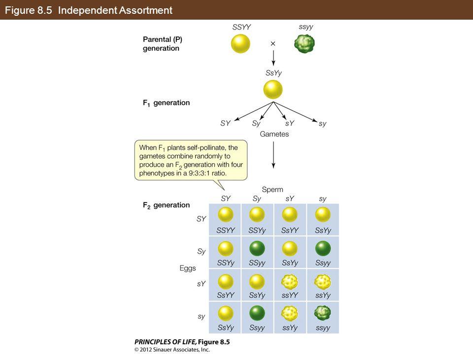 Figure 8.5 Independent Assortment